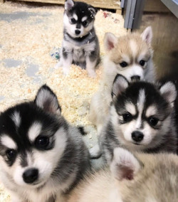 Cute Pomsky and Siberian Husky Pups Available