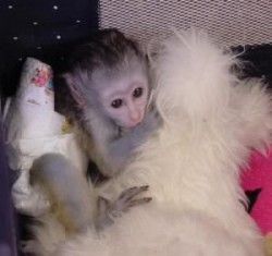 Capuchin Monkeys For New Homes!Text (507) 200-2255