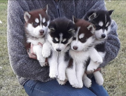 Pomsky and Purebre Siberian Husky Puppies Availabl