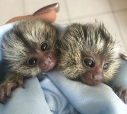 Cute Marmoset Monkeys For Re-homing