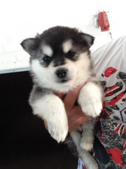 Pedigree Pomsky and Siberian Husky Puppies