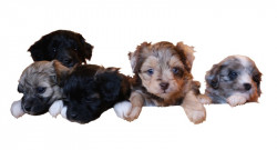 Mini & Toy Aussiedoodle puppies available!