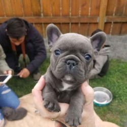 DARK BLUE FRENCHIES PUPPIES FOR ADOPTION