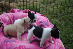 Free French Bulldog Puppies ready to go