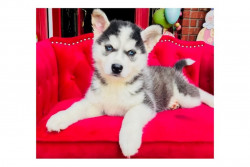 Gorgeous Pomsky and Siberian Husky Puppies Availab