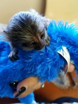 lovable Marmosets available 610 998-8263
