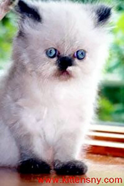 Himalayan, Persian Kittens for Sale.