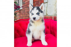 Cute Pomsky and Siberian Husky Puppies Available
