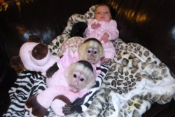 asap Stunning  Capuchin Monkey for rehoming cheap